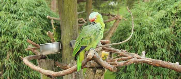 Natürliche Papageien SItzstangen